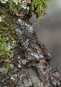 Scarce silver y moth (Syngrapha interrogationis) camouflaged on branch, Peatlands Park, County Armagh, Northern Ireland, UK, June - Robert Thompson