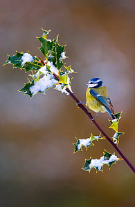 Blue tit (Parus caerulus) adult perched on snow covered holly, Mid Wales, UK, February. - Andrew Parkinson