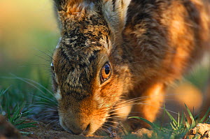European / Brown hare (Lepus europaeus)~male following the scent of a female during the breeding season. Derbyshire, UK, March. - Andrew Parkinson