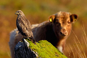 Common Buzzard (Buteo buteo) perched on rock with curious Highland cow behind. Isle of Mull, Scotland, UK, February. - Andrew Parkinson