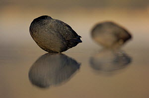 Coots (Fulica atra) resting at dawn. Derbyshire, UK, March.  -  Andrew Parkinson