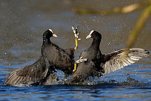 Coots (Fulica atra) two males fighting in a territorial dispute, Nottinghamshire, UK, March. - Andrew Parkinson