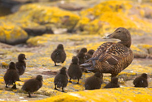 Eider duck (Somateria mollissima) female leads her ducklings towards the sea, Farne Islands, UK, June.  -  Andrew Parkinson