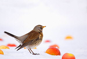 Fieldfare (Turdus pilaris) feeding on apples put out after snowfall, Leicestershire, UK, February. - Andrew Parkinson