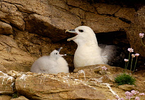 Fulmar (Fulmarus glacialis) chick mimics his parents cackling display. Shetland Islands, Shetland, UK, July. - Andrew Parkinson
