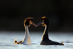 Great crested grebes (Podiceps cristatus) a pair of adults perform their elaborate courtship dance. Derbyshire, UK, March. - Andrew Parkinson