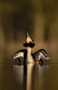 Great crested grebe (Podiceps cristatus) adult stretching its wings and neck in dawn sunlight. Derbyshire, UK, March. - Andrew Parkinson