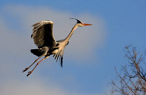 Grey heron (Ardea cinerea) comes in to land at a nest site. Nottinghamshire, UK, March. - Andrew Parkinson