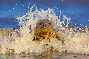 Grey seal (Halichoerus grypus) adult female among breaking waves, Lincolnshire, UK - Andrew Parkinson