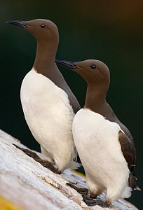 Common Guillemot (Uria aalge) two adults perched together, Saltee Islands, Republic of Ireland, UK, May. - Andrew Parkinson
