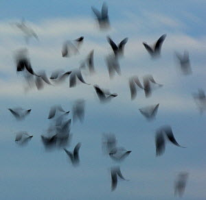 Jackdaws (Corvus monedula) abstract view of flock in flight, Derbyshire, UK, December. - Andrew Parkinson