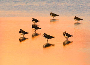 Lapwing (Vanellus vanellus) group roosting in the lagoons at Titchwell RSPB Reserve, Norfolk, UK, October.  -  Andrew Parkinson
