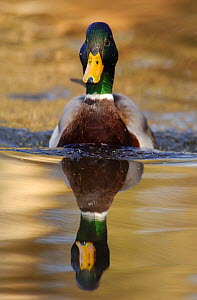 Mallard (Anas platyrhynchos) drake swimming portrait, Derbyshire, UK, February. - Andrew Parkinson