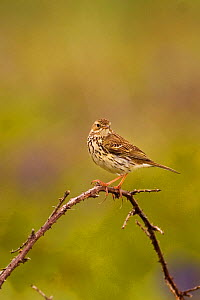 Meadow pipit (Anthus pratensis) adult perched on a bramble stem, Saltee Islands, Republic of Ireland, May.  -  Andrew Parkinson