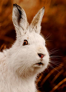 Mountain hare (Lepus timidus) alert portrait in white winter coat, Monadhliath Mountains, Scotland, UK, February. - Andrew Parkinson