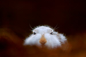 Mountain hare (Lepus timidus) adult in its white winter coat trying to conceal itself on heather moorland, Monadhliath Mountains, Scotland, UK, February. - Andrew Parkinson