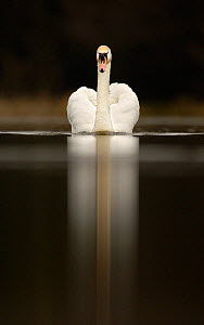 Mute swan portrait on water (Cygnus olor) ~Derbyshire, UK, April. - Andrew Parkinson