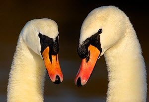 Mute swans (Cygnus olor) pair of adults engaged in a courtship dance, Nottinghamshire, UK, February. - Andrew Parkinson