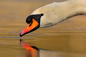 Mute swan (Cygnus olor) drinking from the surface of a frozen lake, Derbyshire, UK, March. - Andrew Parkinson