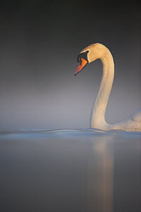 Mute swan (Cygnus olor) adult emerges serenely from a thick mist into dawn sunlight, Derbyshire, UK, May. - Andrew Parkinson