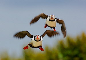 Puffins (Fratercula arctica) pair take off together to go fishing. Farne Islands, Northumberland, UK, May. - Andrew Parkinson