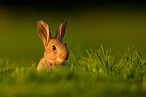 European rabbit (Oryctolagus cuniculus) young rabbit sits alert in grass, Norfolk, UK, May.  -  Andrew Parkinson