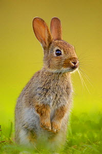 European rabbit (Oryctolagus cuniculus) young rabbit stands alert in grass, Norfolk, UK, June. - Andrew Parkinson