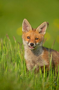 Red fox (Vulpes vulpes) alert cub portrait,  Derbyshire, UK, June. - Andrew Parkinson