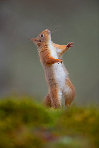 Red squirrel (Sciurus vulgaris) standing on its hind legs, Cairngorms National Park, Scotland, UK, March. - Andrew Parkinson