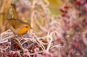Robin (Erithacus rubecula) perched on frost covered branches, Dumfries and Galloway, Scotland, UK, December. - Andrew Parkinson