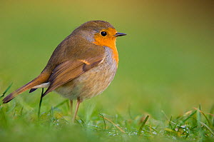 Robin (Erithacus rubecula) adult perched on the ground, Dumfries and Galloway, Scotland, UK, December. - Andrew Parkinson