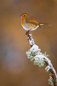 Robin (Erithacus rubecula) perched on a snow covered branch, Mid Wales, UK, February. - Andrew Parkinson