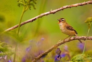 Sedge warbler (Acrocephalus schoenobaenus) singing portrait, Saltee Islands, Republic of Ireland, May.  -  Andrew Parkinson