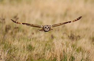 Short eared owl (Asio flammeus) adult hunting over wasteland, North Wales, UK, March.  -  Andrew Parkinson
