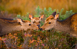 Sika deer (Cervus nippon) adult and subadult touch noses, a young calf looks on, introduced species, Arne RSPB Reserve, Dorset, UK, October. - Andrew Parkinson
