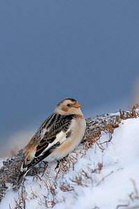 Snow bunting (Plectrophenax nivalis) adult perched on ground, February, Cairngorm Mountains, Scotland, UK, February. - Andrew Parkinson