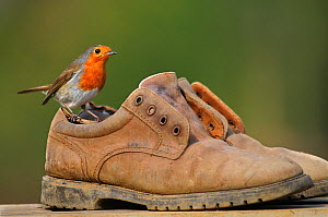 Male Robin (Erithacus rubecula) perching on old gardening shoes. Dorset, UK, March.  -  Colin Varndell