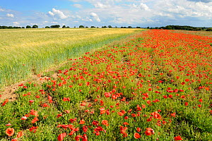 Common Poppy (Papaver rhoeas) on headland of field of Barley. Norfolk, UK, July. - Gary K. Smith
