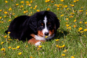 Bernese Mountain Dog pup lying in grass, Elburn, Illinois, USA  -  Lynn M Stone
