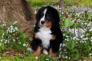 Bernese Mountain dog pup in spring wildflowers (Anemone and Prairie Trillium), Elburn, Illinois, USA  -  Lynn M Stone