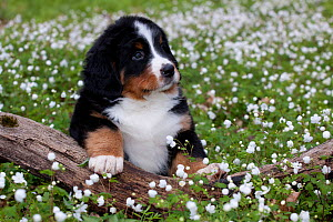 Bernese Mountain dog pup, paw on log, sitting in wild Anemones, Elburn, Illinois, USA - Lynn M Stone