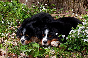 Two Bernese Mountain dog pups sleeping in patch of woodland wildflowers (Anemone and Prairie Trillium), Elburn, Illinois, USA - Lynn M Stone