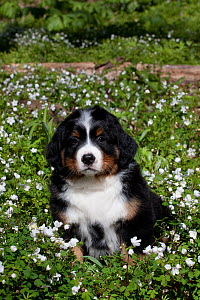 Bernese Mountain dog pup in spring wildflowers, Elburn, Illinois, USA (DM)  -  Lynn M Stone