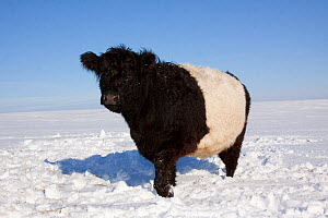 Belted Galloway cow standing in snow covered field, mid winter, Belvidere, Illinois, USA - Lynn M Stone