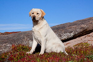 Yellow Labrador Retriever sitting in glasswort, Monterey Peninsula, California, USA  -  Lynn M Stone