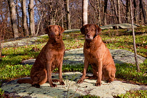 Pair of Chesapeake Bay retrievers sitting at edge of deciduous forest, Waterford, Connecticut, USA  -  Lynn M Stone