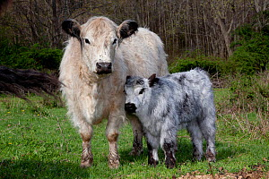 Galloway Cow and calf in spring pasture, East Granby, Connecticut, USA - Lynn M Stone