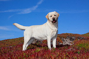 Yellow Labrador Retriever standing in glasswort, Monterey Peninsula, California, USA  -  Lynn M Stone
