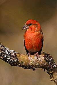 Portrait of a male Common Crossbill (Loxia curvirostra). North Wales, UK, March. - Alan Williams