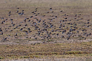 Twite (Carduelis / Acanthis flavirostris) flock in flight over stubble field. Islay, Scotland, March.  -  Alan Williams